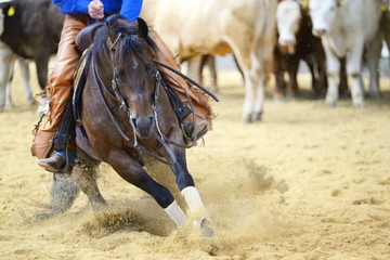 cutting, brown quarter horse in a cutting competition inside in full action
