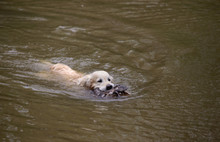 Hunting Dog Swims In The Lake....