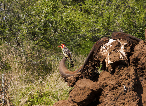 Foto op Plexiglas Krokodil Scull of an cape buffalo and a red-billed oxpecker somewhere in Tanzania Africa