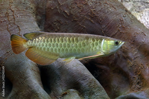 Scleropages formosus. Exotic tropical fish in the water Canvas-taulu