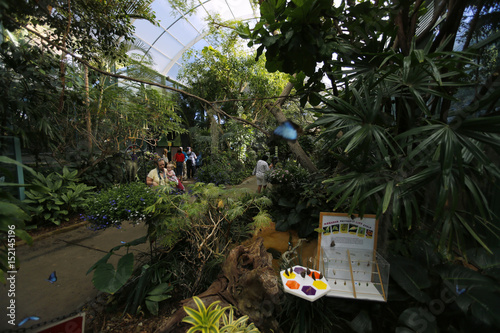A Common Blue Morpho butterfly floats through the air at the