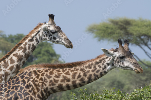 Photo  Giraffe Duo