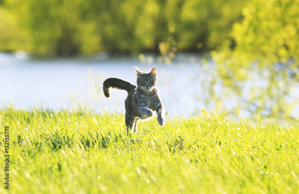 sweet  cat fun running on green meadow in Sunny summer day
