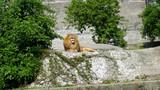 Fototapeta Sawanna - Złoty lew odpoczywa