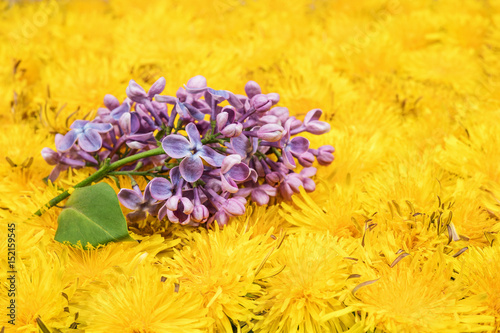 Fototapety, obrazy: Lilac branch on dandelion flowers