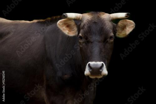 Fotografie, Obraz  Ritratto di mucca su sfondo nero