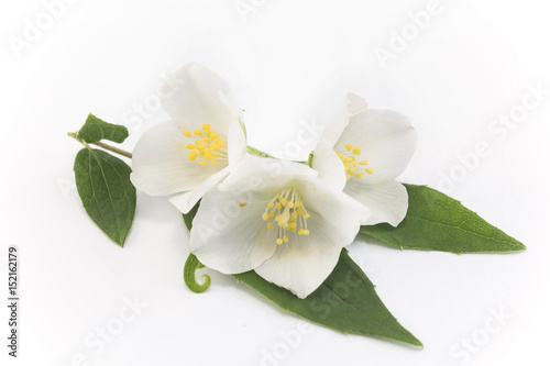 Foto op Plexiglas Magnolia Jasmine on a White Background