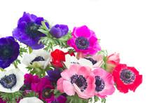 Fresh Colorful Anemones Fresh Flowers Posy Close Up Isolated On White Background