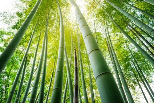 竹林の竹の子 Fototapet