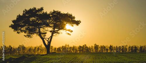 Pine tree in golden sunset © Giddrid