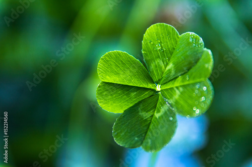 Fotografía  A close up of a real green 4-leaf clover with dew on it and a blue and green sof