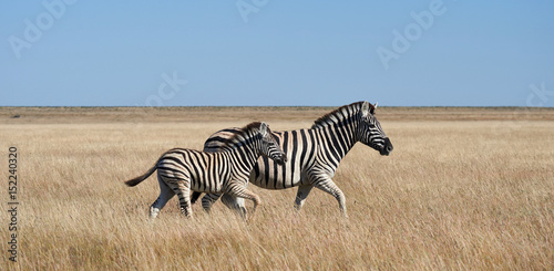 Cadres-photo bureau Zebra Two zebras, mom and puppy