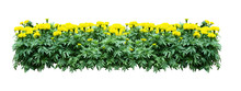 Yellow Flower Bush Tree Isolated With Clipping Path