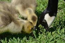 Two Week Old Canada Goose Goslings Learning From Parent Goose How To Pick The Best Grass To Eat