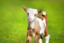 Beautiful Cute Goat Kid On Green Spring Grass