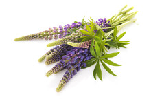 Purple Lupine Isolated Over Wh...