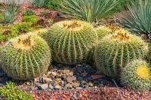 Flowering Golden Barrel Cacti On Flowerbed.