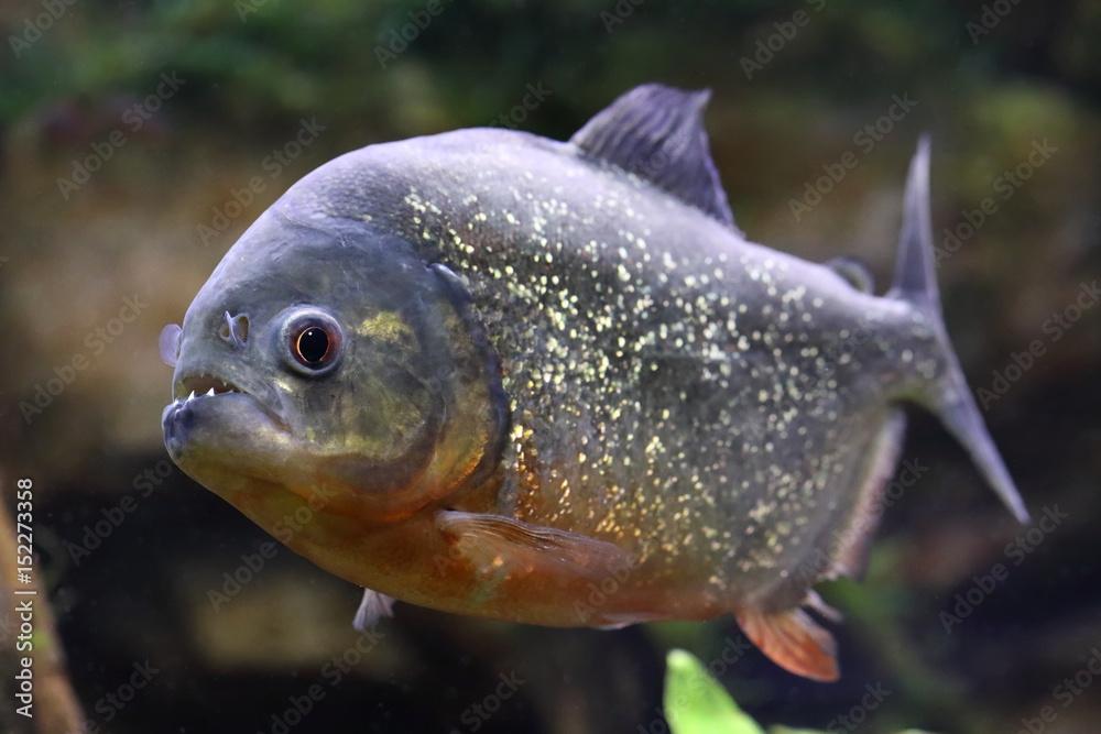 Valokuva  Pygocentrus nattereri. Piranha with mouth open