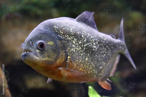 Obraz na plátně  Pygocentrus nattereri. Piranha with mouth open