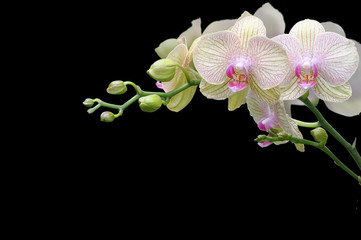 Fototapeta Storczyki orchid on black background