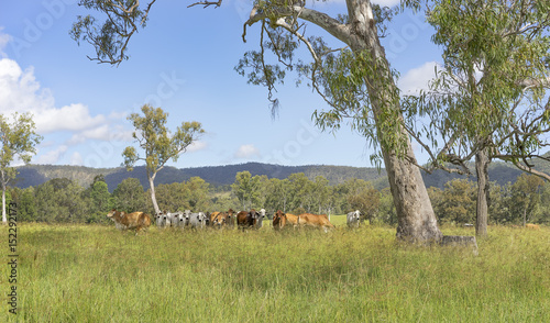 Australian landscape with gum trees and cows