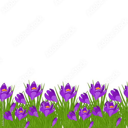 Spring postcard with purple small crocus early spring purple flower spring postcard with purple small crocus early spring purple flower crocus for easter on white mightylinksfo