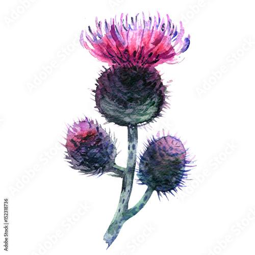 Obraz na płótnie Agrimony, bur buds and flowers, burdock head isolated, watercolor illustration o