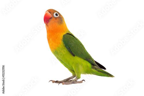 Naklejka premium papuga fischeri lovebird