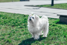 Cute White Dog Walking In Grass