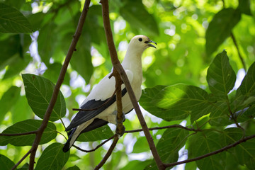 Image of bird (Pied imperial pigeon) on nature background. Animals.