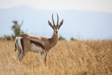Young Male Grant's Gazelle