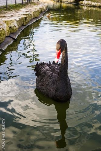 Black swan swinging on the waves.
