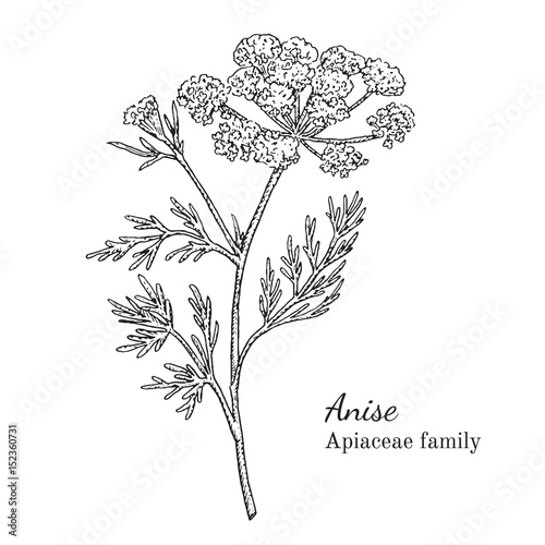 Ink anise herbal illustration Canvas Print