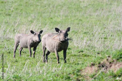 Photo  Zwei Warzenschwein in der Steppe von tansania