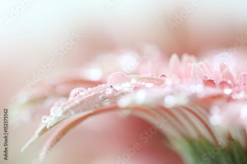 Fotobehang Gerbera Gerbera flowers with raindrop