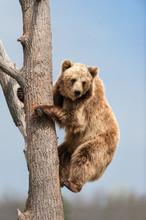 Brown Bear Climbing In Tree Ag...