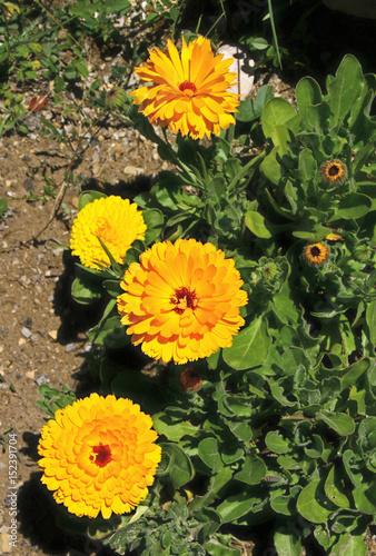 Fotografía  fleurs de souci
