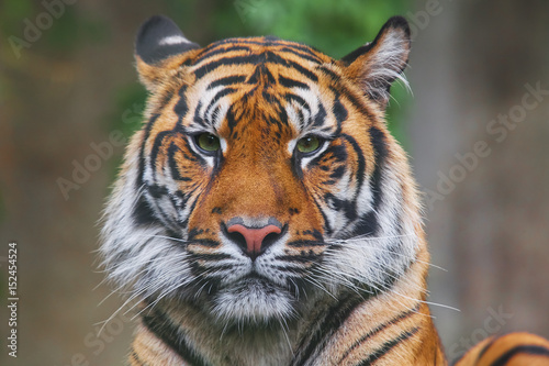 In de dag Tijger Rare Sumatran Tiger Isolated on Black Background