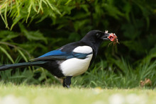 Eurasian Magpie (Pica Pica) Wi...