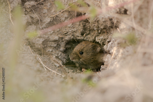 Fotografía  Field vole (Microtus agrestis) emerging from hole