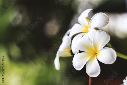 La pose en embrasure Frangipanni plumeria flower ith soft-focus in the background. over light