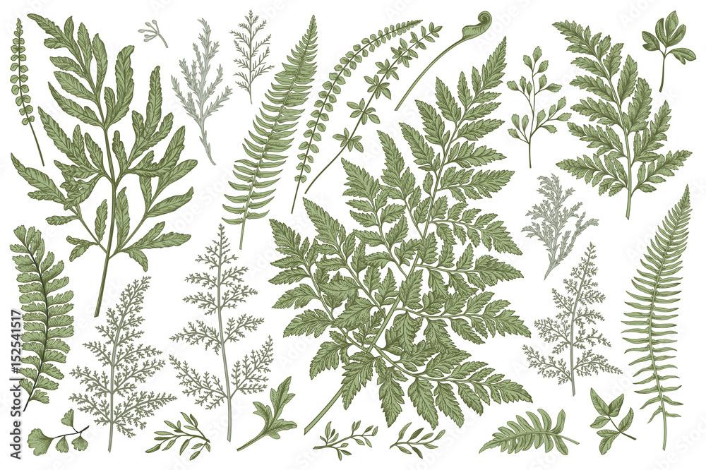 Fototapeta Set of fern leaves.