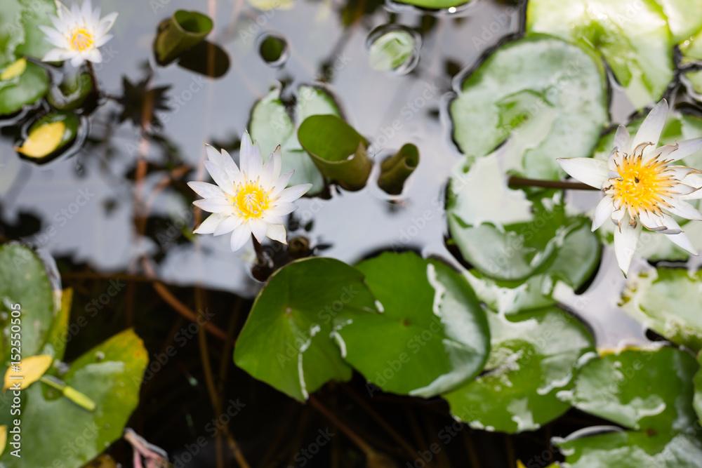 Lotus Flower Poster Plakat 31 Gratis Bei Europosters