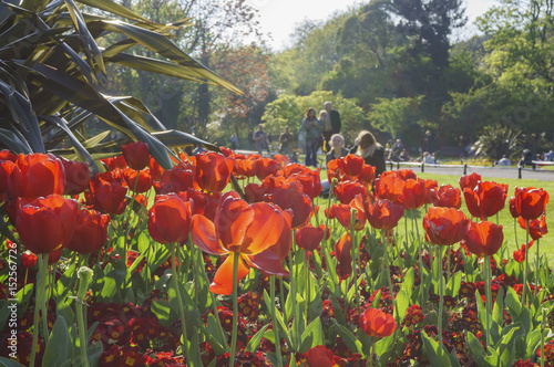 Photo  Tulip blossom at St Stephen's Green