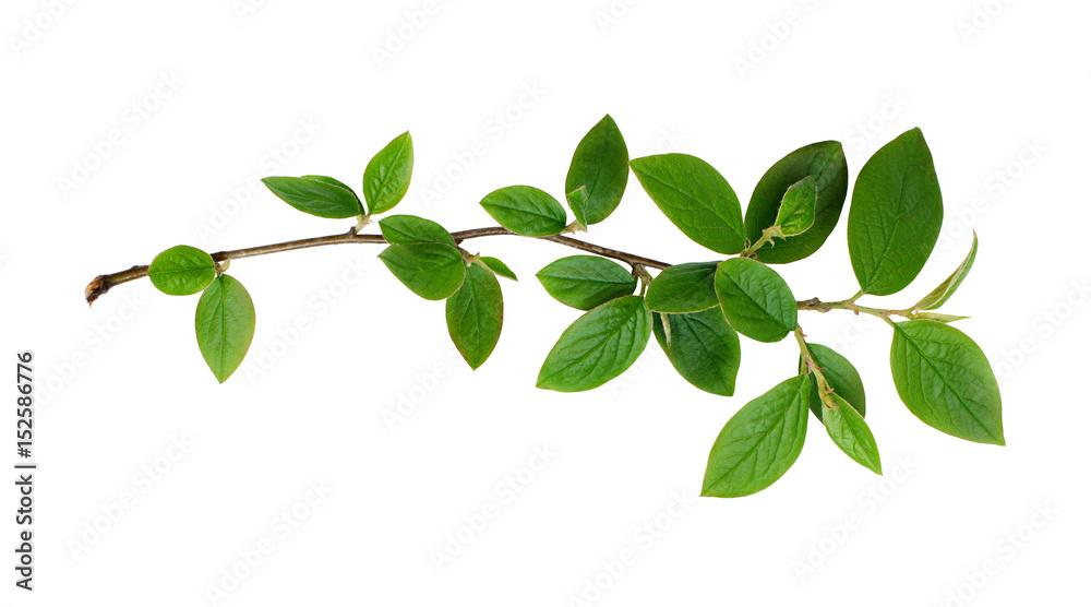 Fototapeta Fresh green leaves branch