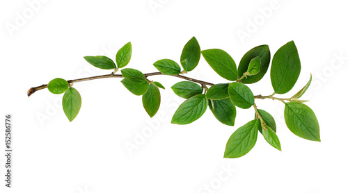 Fresh green leaves branch