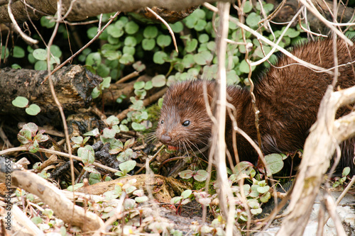 Printed kitchen splashbacks American Mink (Mustela vison) eating freshly caught food in the undergrove
