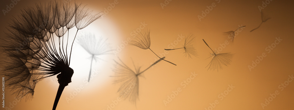 Fototapety, obrazy: flying dandelion seeds on a sunset background