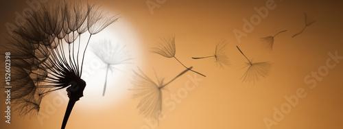 Poster Pissenlit flying dandelion seeds on a sunset background