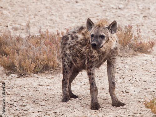 Poster Hyène Hyena in african grassland of Etosha National Park, Namibia, Africa.